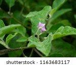 eggplant solanum aculeatissinum ... | Shutterstock . vector #1163683117