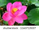 far eastern lotus v. komarova....   Shutterstock . vector #1163715037