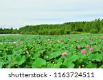 lake with red lotus flowers on...   Shutterstock . vector #1163724511