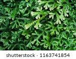 spike moss and light for... | Shutterstock . vector #1163741854