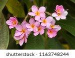pink plumeria on the plumeria... | Shutterstock . vector #1163748244