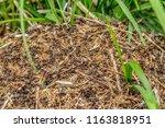 closeup shot of a wood ants... | Shutterstock . vector #1163818951