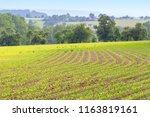 rural agricultural scenery with ... | Shutterstock . vector #1163819161