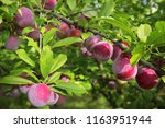 delicious ripe plums on tree in ... | Shutterstock . vector #1163951944