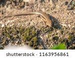 lizard of kumamoto | Shutterstock . vector #1163956861