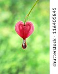 Single bleeding heart flower blossom with water droplets.  Macro with extremely shallow dof. - stock photo