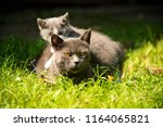 Stock photo family of cats outdoor cat with the baby kitten on grass cat hugs kitten cat plays kitten 1164065821