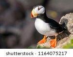 horned puffin  fratercula...   Shutterstock . vector #1164075217
