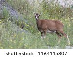 european mouflon   mating season | Shutterstock . vector #1164115807
