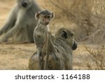 baboon infant riding on mothers ... | Shutterstock . vector #1164188