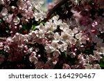 the flowering crab apple tree | Shutterstock . vector #1164290467