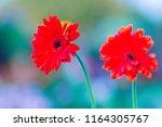 beautiful red hybrid gerbera or ... | Shutterstock . vector #1164305767