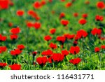 A Field Of Blossoming Red...