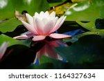 nymphaea   water lilies   ... | Shutterstock . vector #1164327634