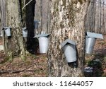 Collecting Sap To Make Maple...