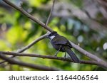 Small photo of A Boisterous Eastern Whipbird