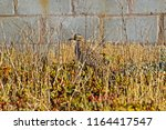 Spotted Thick Knee Bird Hidden...