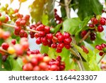 coffee beans ripening on tree...   Shutterstock . vector #1164423307