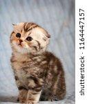 Little Cute Kitten. Scottish...