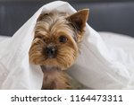 A Dog In A White Blanket In Be...