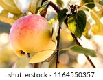 fresh red yellow apples on a... | Shutterstock . vector #1164550357