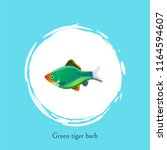 green tiger barb in white... | Shutterstock .eps vector #1164594607
