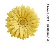 yellow gerbera flower isolated... | Shutterstock . vector #1164679951
