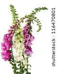 Flowers Of Digitalis Isolated...