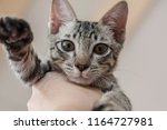 Small photo of The kitten was picked up by human hands. Kittens looking at the camera with suspicion & innocent.
