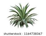 agave desmettiana 'variegata' ... | Shutterstock . vector #1164738367