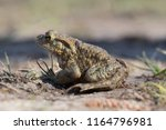 close up of a frog | Shutterstock . vector #1164796981
