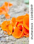 Small photo of Edible mushrooms (aleuria aurantia) from sub-tropical climate