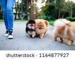 Stock photo dog walker enjoying with pomeranian dogs in park 1164877927