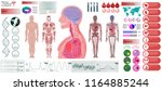 human anatomy  body with... | Shutterstock .eps vector #1164885244
