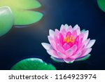 bright pink lotus water lily... | Shutterstock . vector #1164923974