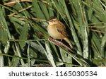a cute fledgling sedge warbler  ...   Shutterstock . vector #1165030534