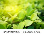 green leaf in nature view with... | Shutterstock . vector #1165034731