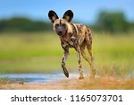 wildlife from okavango delta ... | Shutterstock . vector #1165073701