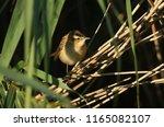 a cute fledgling sedge warbler  ...   Shutterstock . vector #1165082107