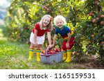 child picking apples on a farm... | Shutterstock . vector #1165159531