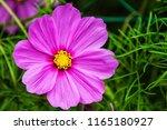 pink cosmos flowers in the... | Shutterstock . vector #1165180927