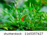 red and green ripe chillies... | Shutterstock . vector #1165357627