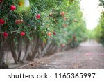 pomegranate on trees  in a... | Shutterstock . vector #1165365997
