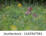 baby eastern cottontail bunny ... | Shutterstock . vector #1165367581
