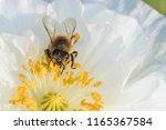 honey bee in poppy flower | Shutterstock . vector #1165367584