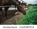 beautiful brown horse eat grass ... | Shutterstock . vector #1165385914