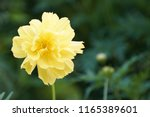 yellow cosmos or cosmos... | Shutterstock . vector #1165389601