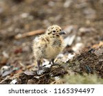 small seagull chick is waiting... | Shutterstock . vector #1165394497