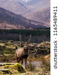 highland stag and deer in... | Shutterstock . vector #1165489411