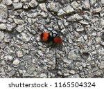 Velvet Ant Insect